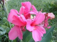 Canna Lily Seeds 'Pink' 5 Seeds