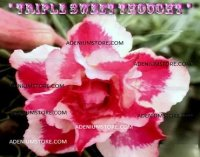 Adenium Obesum 'Triple Sweet Thought' 5 Seeds