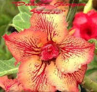 Adenium 'Double Ginger Anise' 5 Seeds