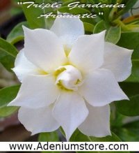 New Rare Adenium 'Triple Gardenia Aromatic' 5 Seeds