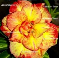 Adenium Obesum Triple Maple Leaf 5 Seeds