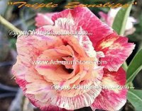 Adenium Obesum 'Triple Sunslips' 5 Seeds