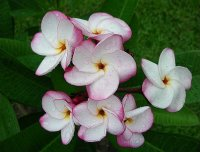 Plumeria Seeds 'Pink Pansy' (6 Seeds)