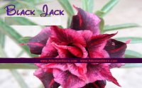 New Adenium 'Black Jack' 5 Seeds