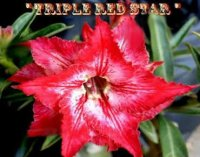 Adenium Obesum 'Triple Red Star' 5 Seeds