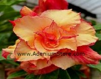 Adenium Obesum 'Triple Morning Star' 5 Seeds