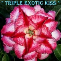 Adenium Obesum Triple Exotic Kiss 5 Seeds