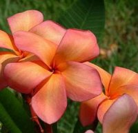 Plumeria Seeds 'Orange Punch' (6 Seeds)