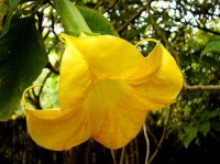 Angels Trumpet Seeds 'Yellow' (5 Seeds)