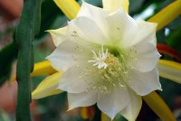 Epiphyllum Seeds [Orchid Cactus] 'Laui' 10 Seeds