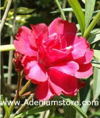 Nerium Oleander 'Rouge Double' 5 Seeds
