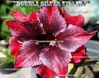 Adenium Obesum ' Double Silver Violet' 5 Seeds
