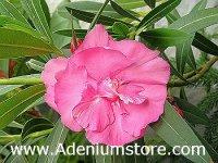 Nerium Oleander 'College Beauty' 5 Seeds