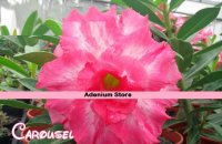New Adenium 'Carousel' 5 Seeds