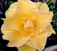 Adenium Obesum Triple Gorgeous Yellow 5 Seeds