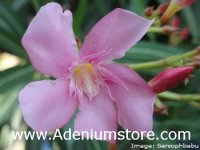 Nerium Oleander 'Pleasants Post-Office Pink' 5 Seeds