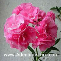 Nerium Oleander 'Triple College Beauty' 5 Seeds