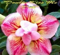 Adenium 'Double Kiss Me Doll' 5 Seeds