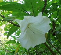 Angels Trumpet Seeds 'Fragrant White' (5 Seeds)