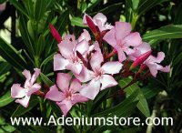 Nerium Oleander 'Pink Beauty' 5 Seeds