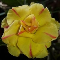 Adenium Obesum Triple Golden Boy x 50 Seeds BULK