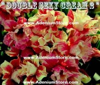 Adenium 'Double Sexy Cream 2' 5 Seeds