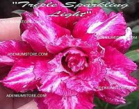 Adenium Obesum 'Triple Sparkling Light' 5 Seeds