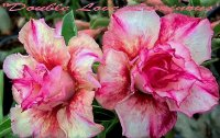 Adenium 'Double Love Luminous' 5 Seeds
