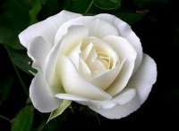White Rose Breaths of Love 10 Seeds