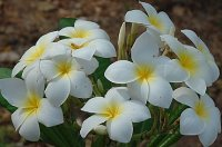 Plumeria Rubra White Ball x 6 Seeds