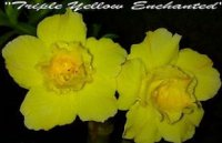 Adenium Obesum 'Triple Yellow Enchanted' 5 Seeds