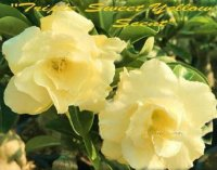 Adenium Obesum 'Triple Sweet Yellow Scent' 5 Seeds