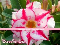 New Adenium 'Blessing Star' 5 Seeds