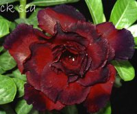 Adenium Obesum Black Sea 5 Seeds