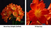 Beverlys Delight X TP Red Star Clivia 3 Seeds