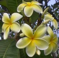 Plumeria Seeds 'Old Gold' (6 Seeds)