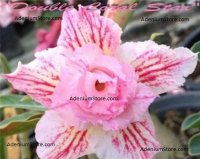 Adenium Double Coral Star 5 Seeds