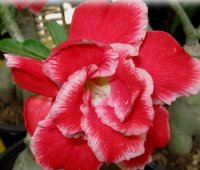 Adenium Obesum 'Double Santa Clause' x 5 Seeds