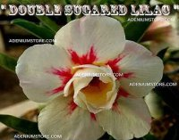 Adenium Obesum 'Double Sugared Lilac' 5 Seeds
