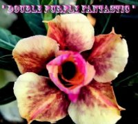 Adenium Obesum Double Purple Fantastic x 5 Seeds