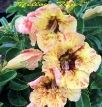Adenium Obesum Yellow Tiger 5 Seeds