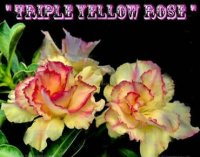 Adenium Obesum 'Triple Yellow Rose' 5 Seeds
