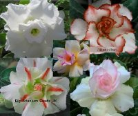 Adenium Obesum 'White Mix' x 10 Seeds
