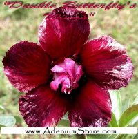 Adenium 'Double Butterfly Wing' 5 Seeds