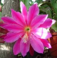 Epiphyllum 'Space Rocket' 5 Seeds