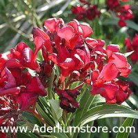 Nerium Oleander 'Hardy Red' 5 Seeds
