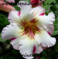 Adenium Obesum 'Rainbow Red' 5 seeds
