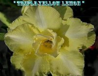 Adenium Obesum 'Triple Yellow Lemon 2' (5 Seeds)