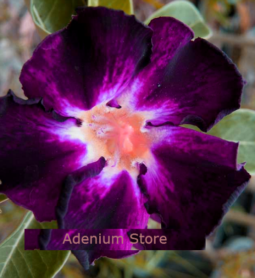 Adenium Obesum Shadow of Memories 5 Seeds