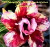 New Adenium 'Double Hawaiian Orchid' 5 Seeds